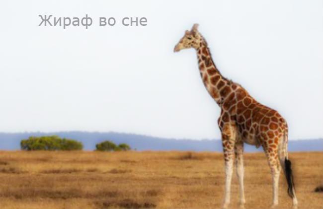 Жираф во сне